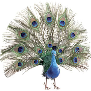 Peacock - lifting up its plumes - break free from abusive ways