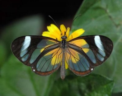 Transparent Butterfly 2
